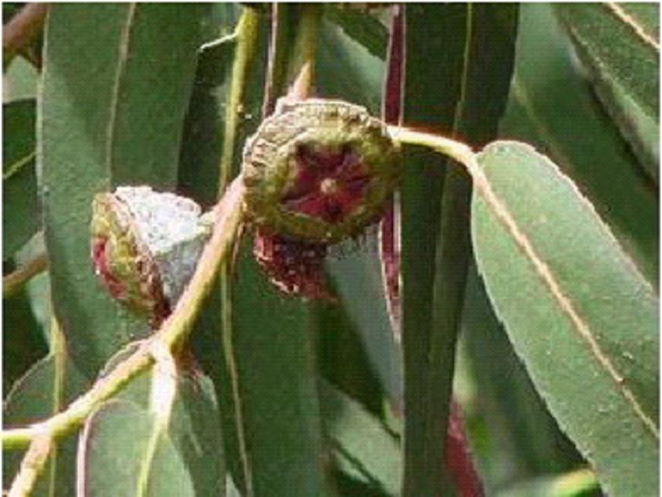 شجرة الكافور لتسكين الألم